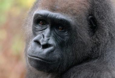 A1XEHM The western lowland gorilla, Gorilla gorilla gorilla